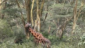 Giraffe eating leaves of a tree. stock video footage