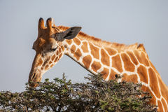 Giraffe eating leaves from tree top. Close up stock images