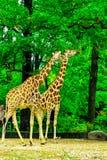 Giraffe eating leaves stock photos