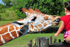 Giraffe Eating Lettuce. Reticulated Giraffe eating a piece of lettuce in a South Florida zoo stock image