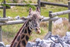 Giraffe Eating and Looking at the Camera Stock Photography