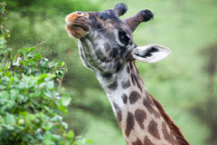 A giraffe eating Royalty Free Stock Images