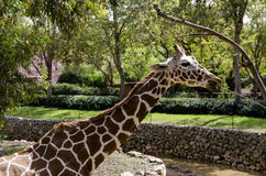 Giraffe eating Royalty Free Stock Image