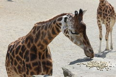 Giraffe Eating from rocks-Zoo Stock Photo