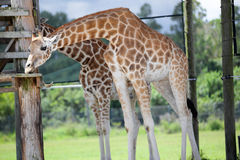 Giraffe eating a snack Stock Photography