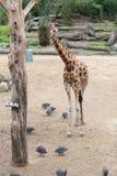 Giraffe eating straw royalty free stock image