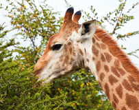 Giraffe eating from a thorn tree Royalty Free Stock Images