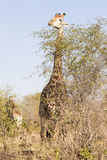 Giraffe eating the tops of fresh branches Royalty Free Stock Photography