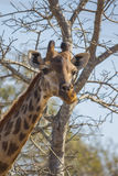 Giraffe eating at the tops of trees 2 Stock Photography
