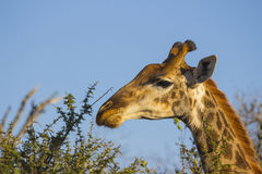 Giraffe eating at the tops of trees 4 Stock Photo
