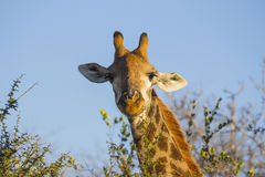 Giraffe eating at the tops of trees 5 Royalty Free Stock Photography