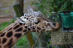 Giraffe eating from tray at Auckland Zoo, New Zealand. Giraffe eating hay from hanging container in Auckland Zoo, New Zealand Royalty Free Stock Images