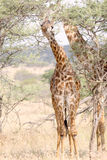 A giraffe eating from a tree Stock Images
