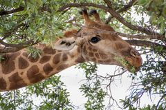 Giraffe eating a tree, head shot through the branches Stock Images