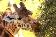 Giraffe Eating. A Giraffe eating tree leaves Royalty Free Stock Images