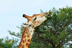 Giraffe eating from a tree. Giraffe eating leaves from acarcia tree in the african bush Royalty Free Stock Photo