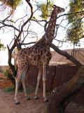Giraffe eating tree leaves and branches. Royalty Free Stock Images
