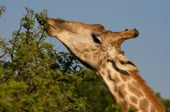 Giraffe eating a tree with tongue out stock photos