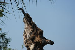Giraffe eating from a tree royalty free stock images