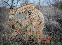 Giraffe eating from trees