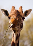 Giraffe eating twig with long tongue Stock Photos