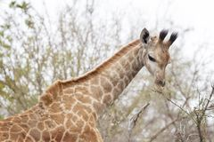 Giraffe eating from twigs stock photo