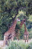 Giraffe. Eating under a tree Stock Images