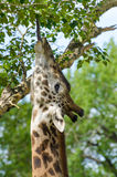 Giraffe eating. Giraffe using its long tongue to reach food above its head Stock Photography