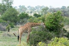 Giraffe eating on the wild alone stock photos