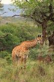 Giraffe eating in the wild stock image
