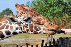 Giraffe Eating From a Woman's Hand Stock Images