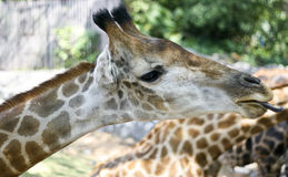 Giraffe is eating royalty free stock images