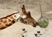 Giraffe eating Stock Photos