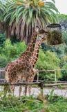 Giraffe eating in a zoo. Camelopardalis Stock Photos