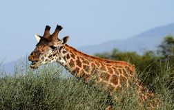 The giraffe eats. The giraffe was inclined over a bush of an acacia and has opened a mouth to break leaves Royalty Free Stock Image