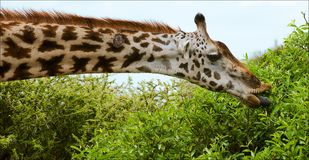 The giraffe eats. Royalty Free Stock Photography