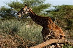 The giraffe eats an acacia. Stock Image