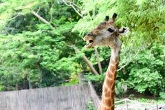 Giraffe eats food Stock Photo