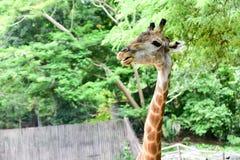 Giraffe eats food Stock Photography