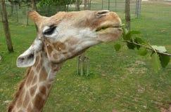 Giraffe eats green leaves royalty free stock photo