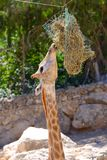 Giraffe eats in a Jerusalem Biblical Zoo stock photos