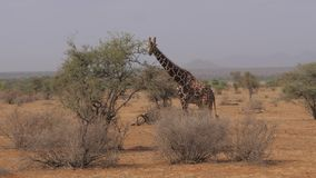 Giraffe Eating the Leaves of a Prickly Bush, Reserve and the African Savannah 4K stock footage