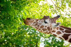 Giraffe eats leaves from a tree Stock Image