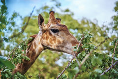 Giraffe eats leaves from a tree in a zoo outside, wild animals.  royalty free stock image