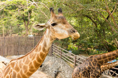 Giraffe eats some green leaves. In zoo Royalty Free Stock Photo