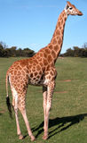 Giraffe in an educational park. A giraffe in an educational park for african animals royalty free stock photo