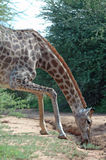 Giraffe Effort. Stock Photography