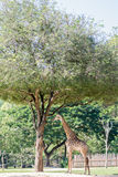 Giraffe and Egret under the tree Royalty Free Stock Image