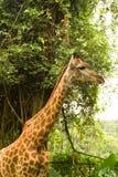 Giraffe in einem Wald Lizenzfreies Stockfoto