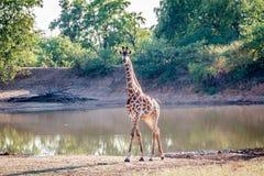 Giraffe an einem waterhole lizenzfreies stockbild